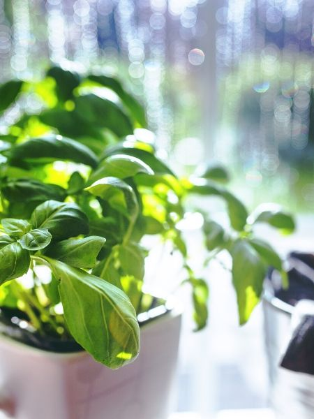 Plant a pot of Basil for your pizza garden pizza