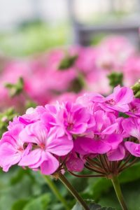 Propagting scented geraniums is a great way to increase your plants without buying more