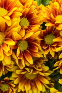 Orange is the color for fall gardens. Chrysanthemums are a perfect choice.