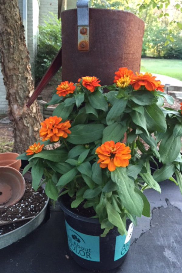 Plant rusty garden containers with orange or yellow flowers