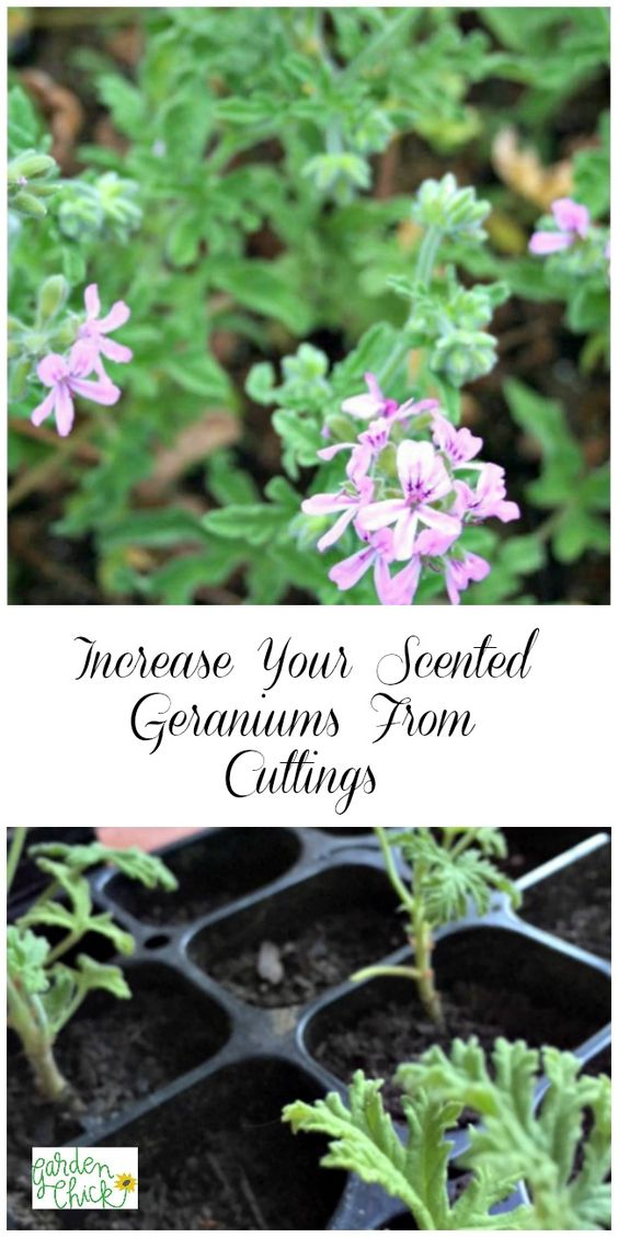 Increase your scented geraniums by propagating cuttings