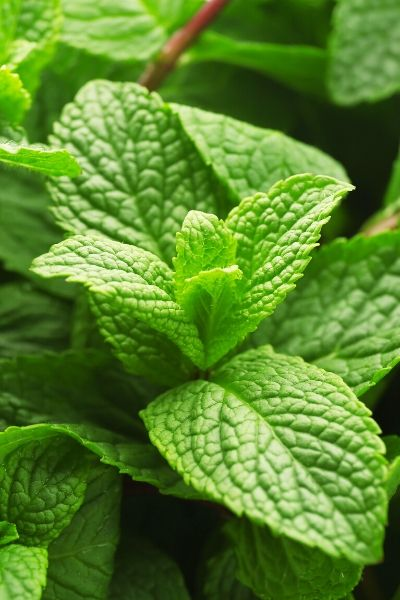 lemon balm is a great choice to add to your garden to repel mosaquitos