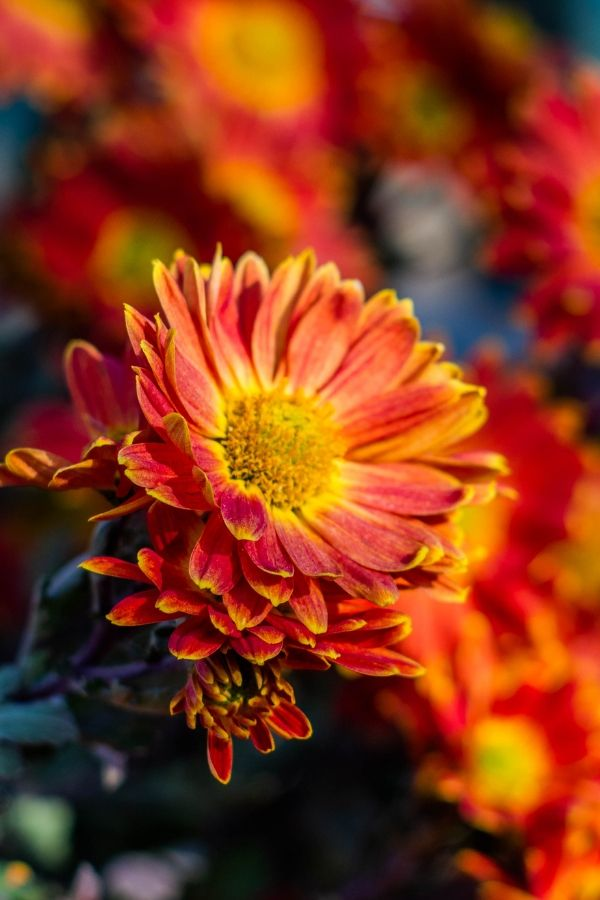 Choose orange flowers for the fall garden. Chrysanthemums are a perfect choice