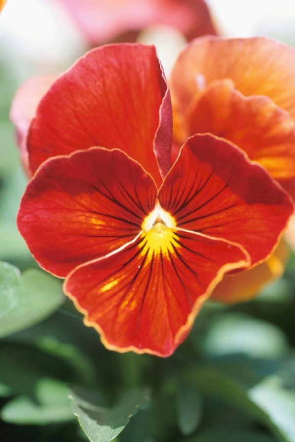 Orange Pansies are a good choice for the fall garden