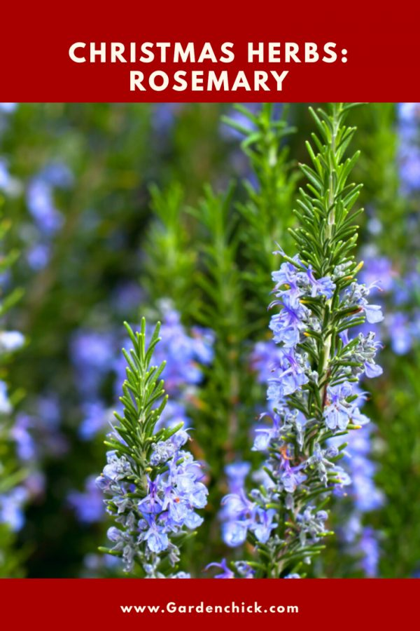 Rosemary is a little known herb associated with Christmas