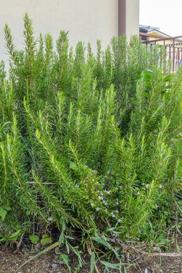 Tips on growing rosemary