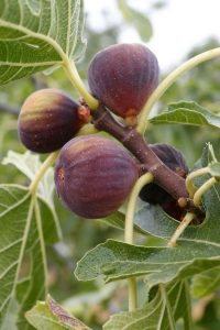 Looking for a great fruit for the home garden? Fig trees are easy to grow and low maintenance.