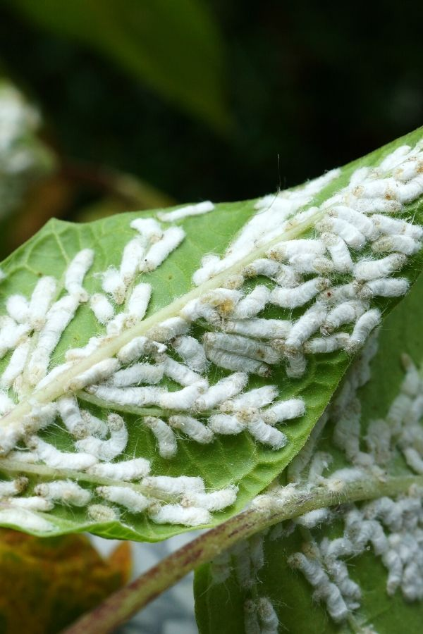 Check for mealy bugs before bringing houseplants in for the winter