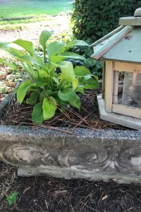 Hostas are a good plant choice for concrete planters in the shade