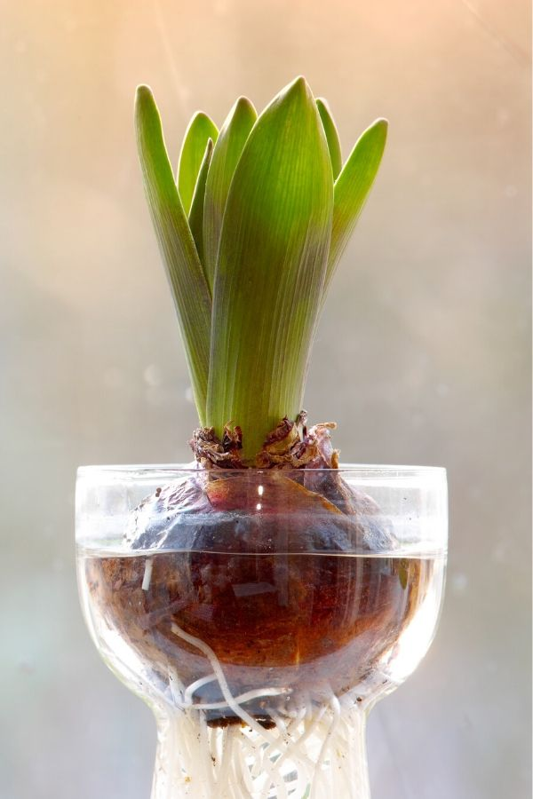 Special hour glass shaped vases can be used to force bulbs for winter blooms