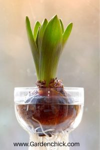 Bulbs can be forced for winter blooms using special vases.