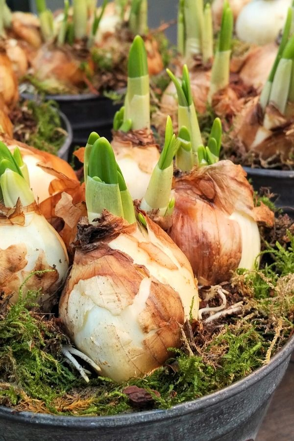 Individual bulbs for forcing for winter blooms