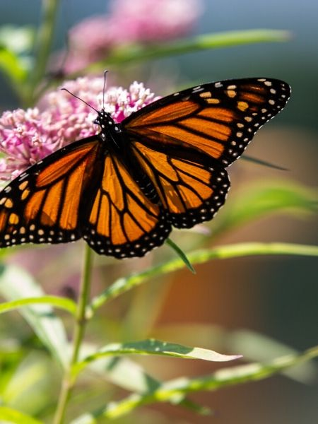 Milkweed is a great choice for a host plant in your butterfly garden
