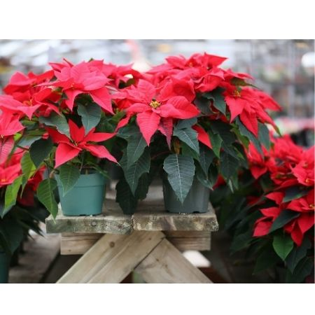 Poinsettias at Christmas