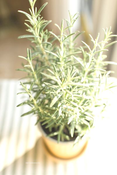 Tips on growing rosemary indoors