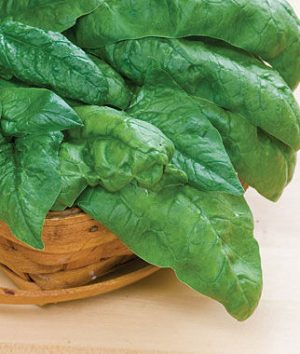 Bloomsdale Spinach is a cool season Spring and Fall vegetable
